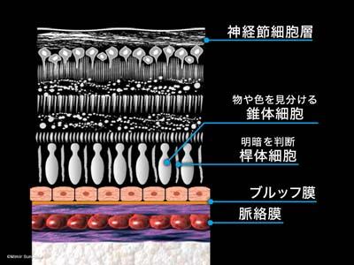 網膜の構造1