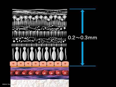 網膜の構造2